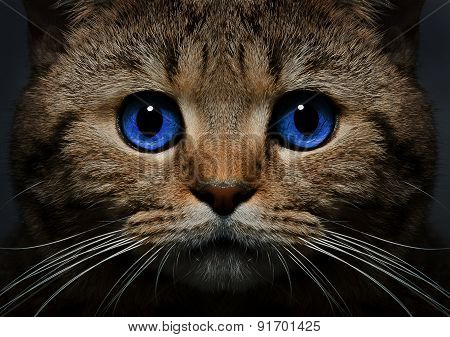 Portrait of a cat Scottish Straight with blue eyes closeup