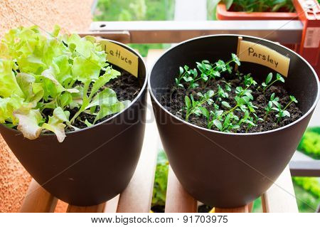 Plant pots with salad and herbsplantingplant pots