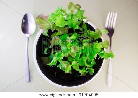 Butter lettuce salad in soil with fork and spoon