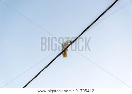 Cockatoo On A Wire