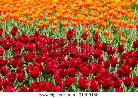 Bright Colorful Flowers Tulips For Background, Posters, Cards