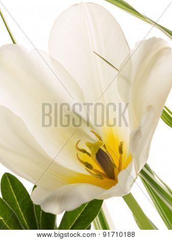 Delicate White Tulip