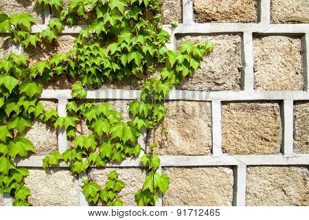 Green Ivy Climbing A Stone Wall