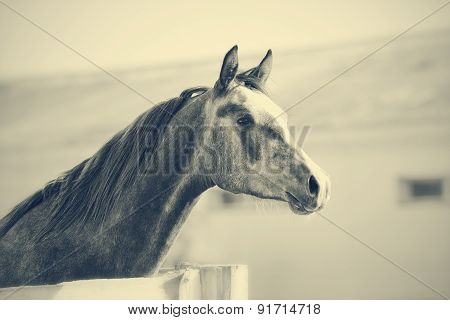 Not Color Portrait Of A Sports Thoroughbred Stallion