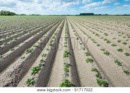 Converging Ridges With Young Fresh Green Potato Plants