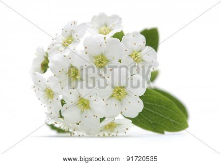 cherry flower in bloom closeup isolated
