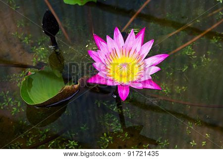 Magenta Waterlily In Pond
