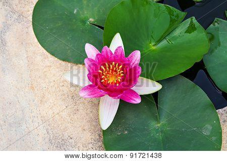 Magenta Lotus In Pond