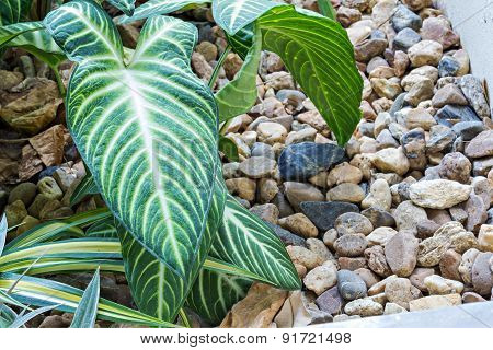 Philodendron In The Garden