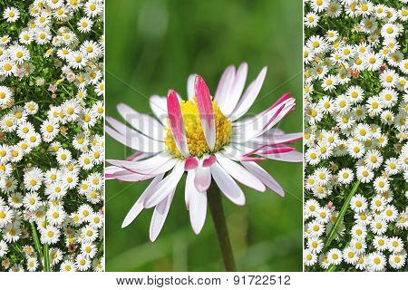 Collage - Single Daisy Flower And Daisy Meadow