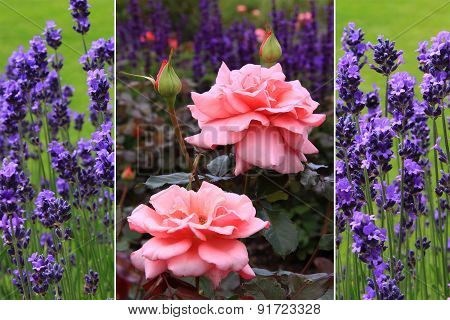 Collage - Pretty Fragrant Rose And Lavender