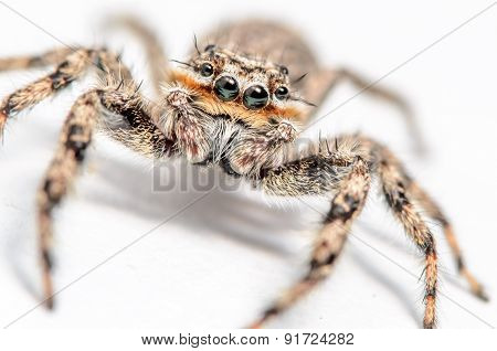 Small Jumping Spider On A White Background