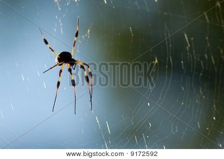 gold silk spider