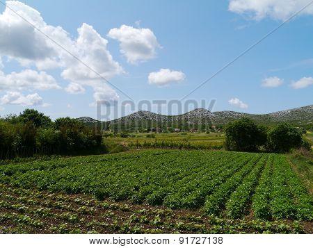 Croatian vines with grape plants