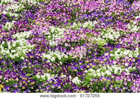 Viola Flower Bed