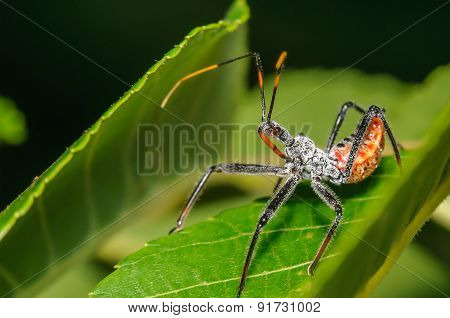 Assassin Bug On A Green Leaf