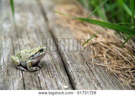 Femal, Eastern Gray Tree Frog (Hyla versicolor)