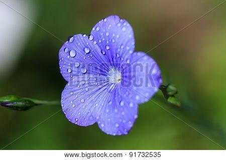 Macro Of A Blue Flax Flower