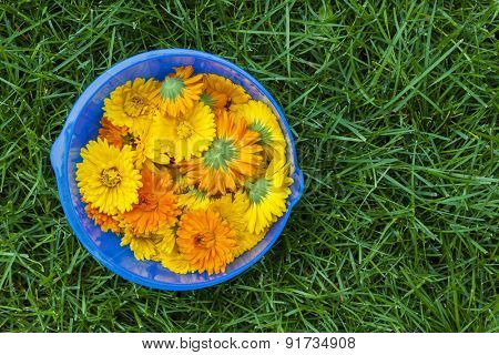 Freshly picked medicinal calendula flowers in blue bowl on green grass