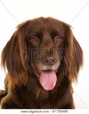 Face Of Brown Longhaired Pointer Dog