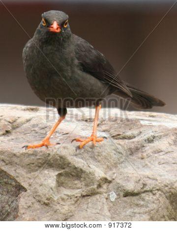 Scowling Bird