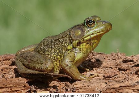 Green Frog (rana Clamitans) On A Log