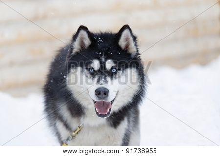 Closeup View Husky