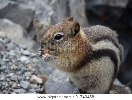 Chipmunk Eating Almond