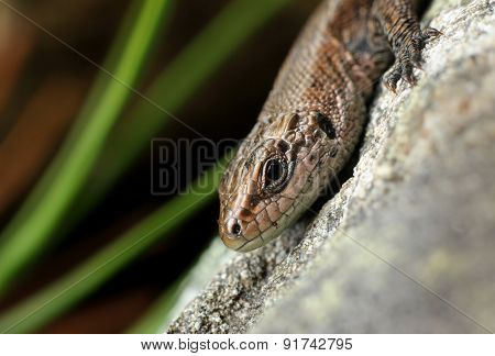 Viviparous Lizard On Stone Close-up