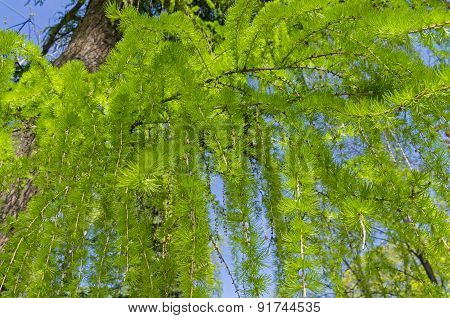 Young Needles On The Branches Of European Larch
