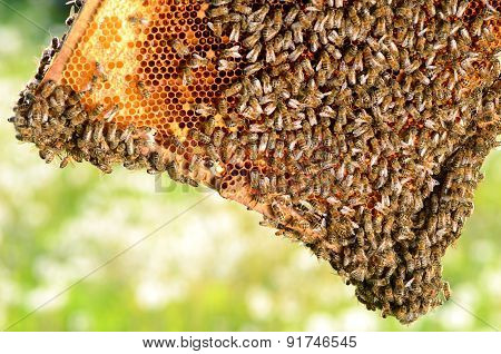 hardworking bees on honeycomb in apiary in the springtime