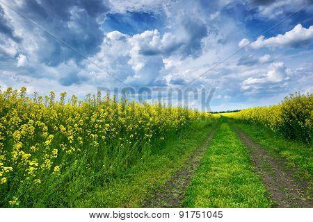 Summer field landscape, yellow rapeseed flowers