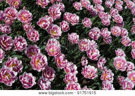 Background Pink Tulips