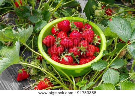 Ripe strawberries in a bowl on the field