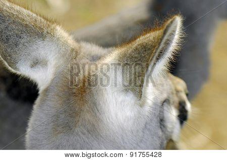 Australian Western Grey Kangaroo In Natural Setting.