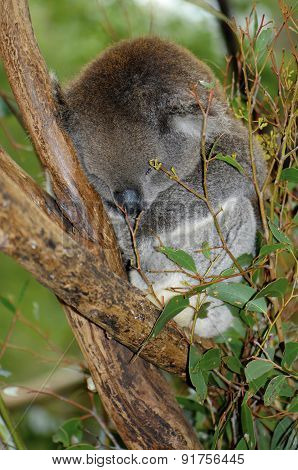 Young Australian Koala