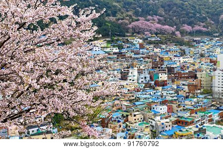Sakura tree at Gamcheon Culture Village, Busan, South Korea.