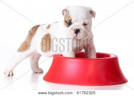 hungry puppy - bulldog puppy with front feet inside large dog bowl on white background