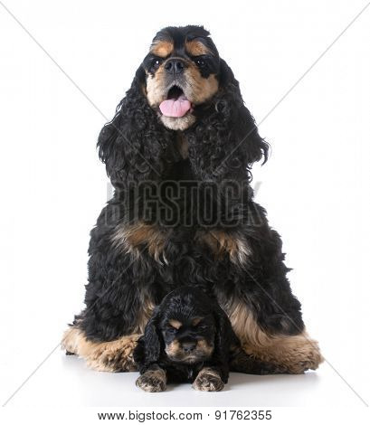 american cocker spaniel mother sitting with her puppy laying in front on white background