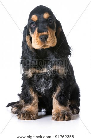 cute puppy - english cocker puppy sitting on white background - 12 weeks old