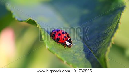 Red Ladybird On The Green Leaf