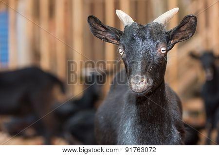 goat black