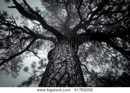 Looking Up Into Tree In Forest Fog