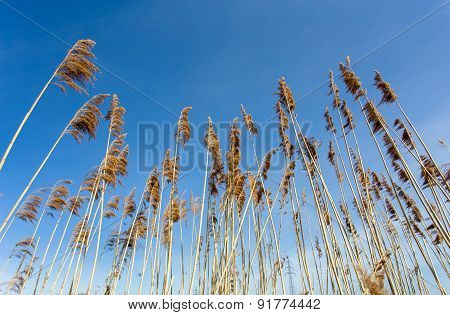 Reeds At The Pond Against Blue Sky