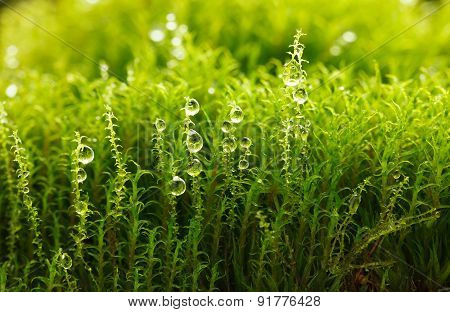 Dew On Moss