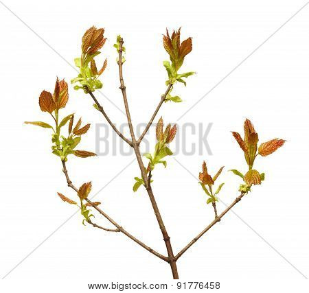 Young Leaves On Tree Twig