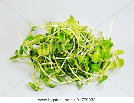 drop of water on sunflower sprouts