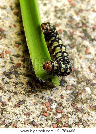 Amaryllis Caterpillar 1