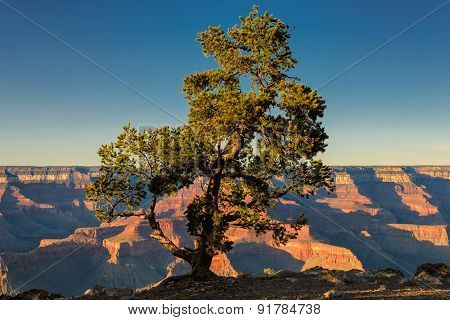Lonely tree during sunset on the edge of Grand Canyon, Arizona