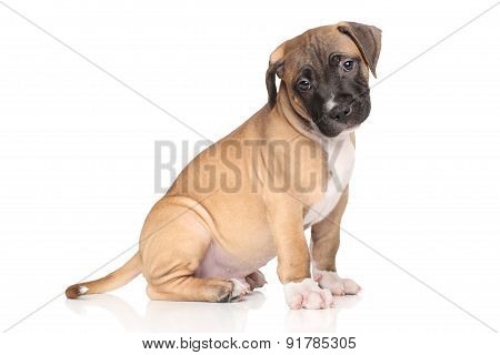 Staffordshire Terrier Puppy